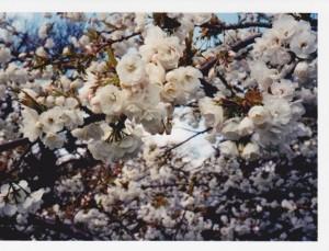 MFTMay13-Cherry blossom