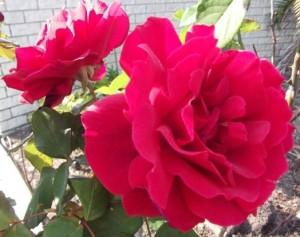 Mr. Lincoln roses in my garden, Sunshine Coast, Queensland