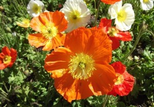 Poppies in the Ballarat Botanical Gardens, Victoria